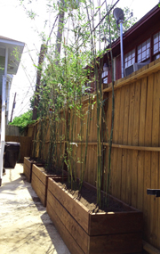 Houston Bamboo hedge in planter box