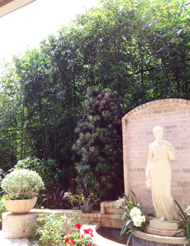 Houston bamboo tall hedge for privacy screen